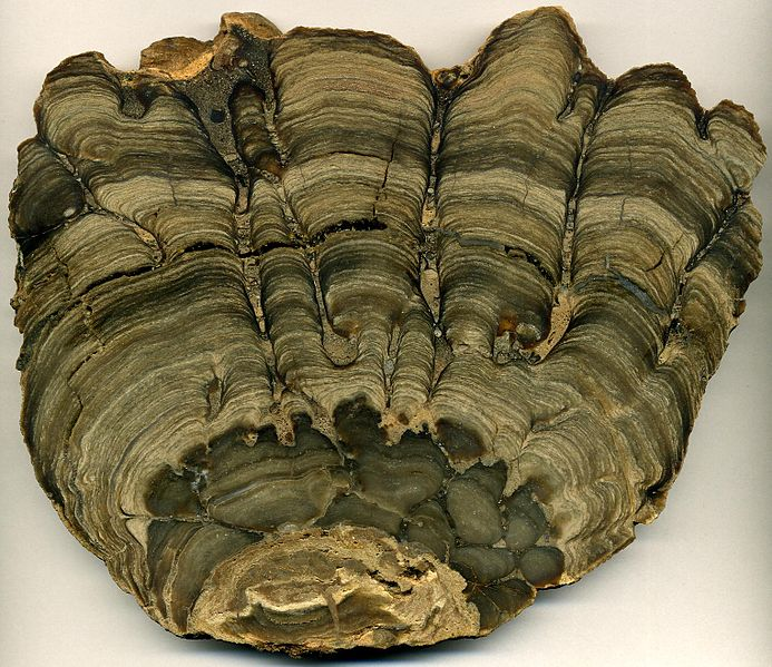 Figure 10: Cross section of a several stromatolites. The stromatolites grew up, towards the Sun, which is towards the top of the photo. This stromatolite fossil example comes from the Fort Laclede Bed, Laney Member, Green River Formation of south-western Wyoming, USA. It is the preserved fossilised remains of a stromatolite that lived in the ancient Lake Gosuite. This is a cross-sectional slice through the fossil, showing its internal layered structure. Photo from  Wikipedia .