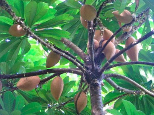 A Zapote tree.