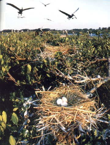 Pelican eggs rest in a nest on Pelican Island, home to                   more than 90 species of birds.