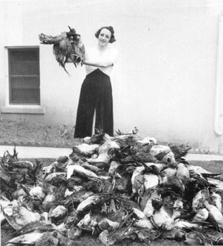 "During the ""Feather Wars"" many species of birds were close to extinction, being killed for their feathers, which were used in expensive hats.  As many as 60 roseate spoonbills were killed per day on Pelican Island during the early part of the century."
