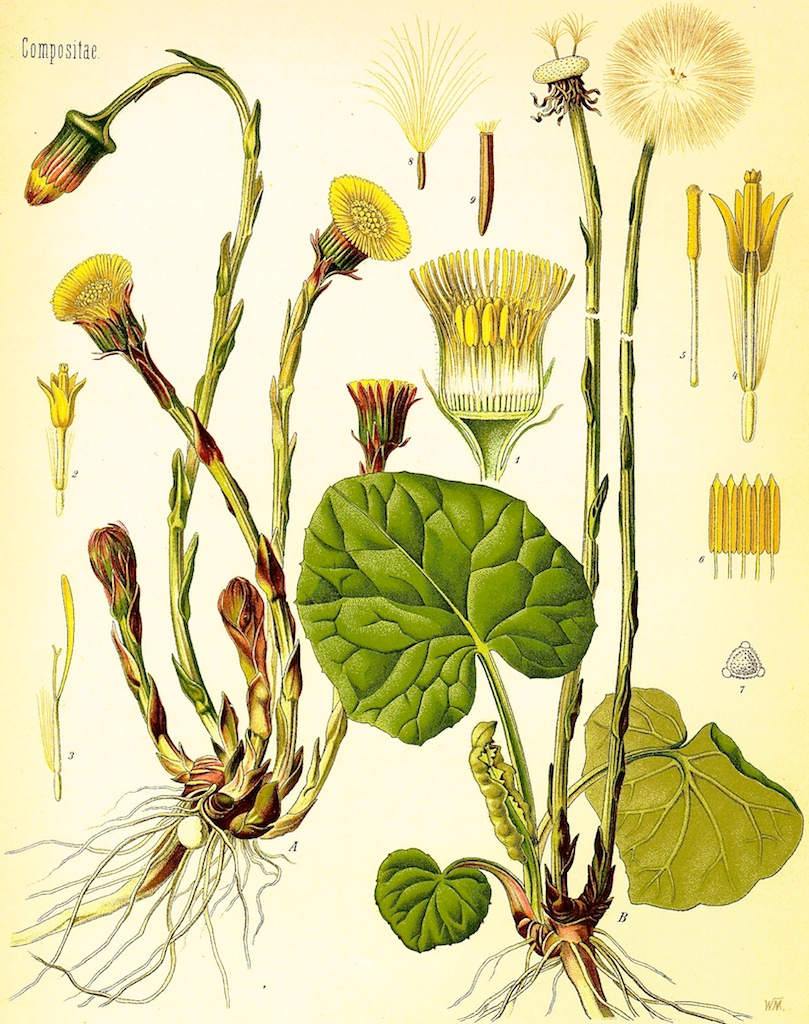 coltsfoot picture.jpg