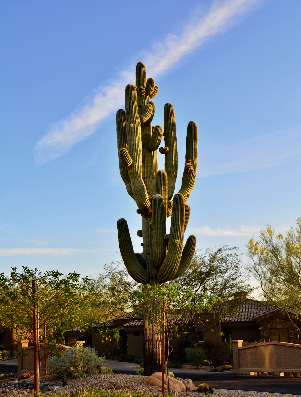 This a huge saguaro cactus that sits beside our patio. Our neighbor said this particular cactus is at least 150 years old....sort of puts things in perspective doesn't it? We're here and gone and nature just keeps on going.