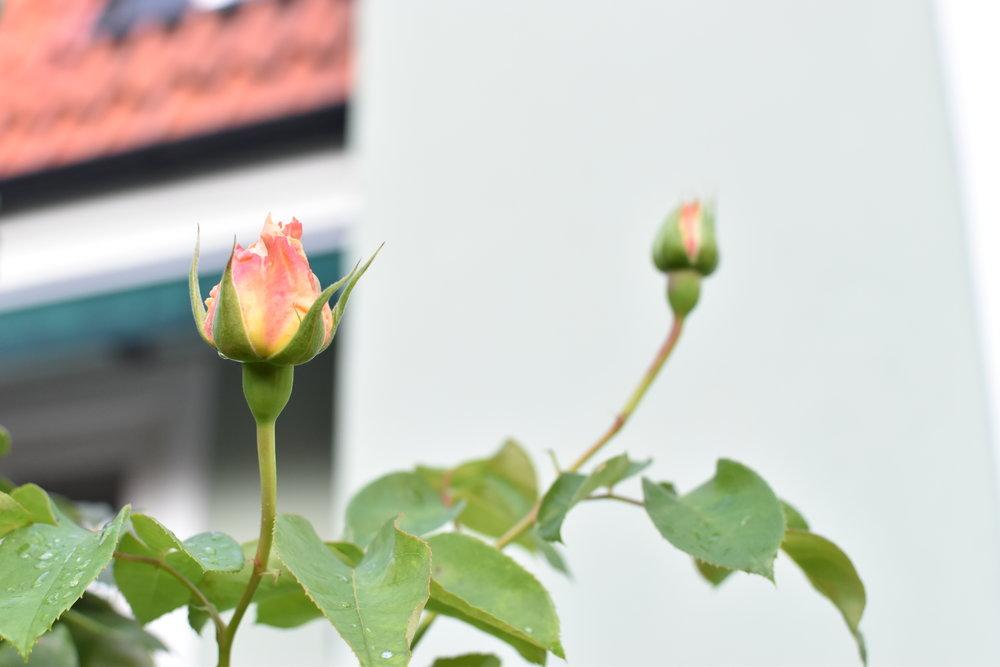 På hemmaplan upptäckte jag minsann att rosorna gör ett omtag och kommer med nya knoppar för tredje gången. Inte mig emot, dessa rosor doftar helt underbart.