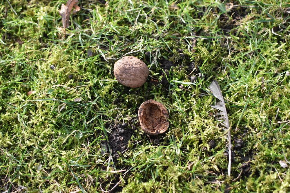 Sen har jag hittat en massa såna här skal på gräs(moss)mattan. Borde tyda på att vi har ett valnötsträd också eller? Om jag bara visste hur ett sånt ser ut...? :)