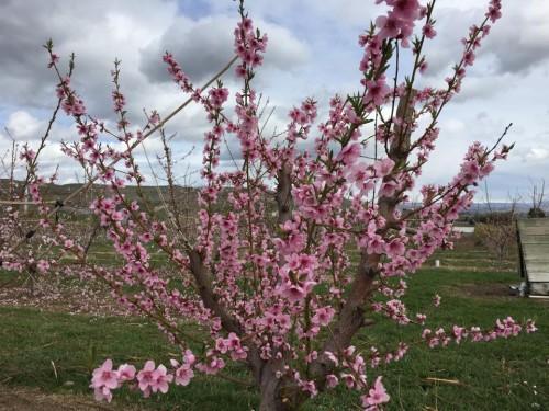 Tree-in-bloom-e1450882035173.jpg