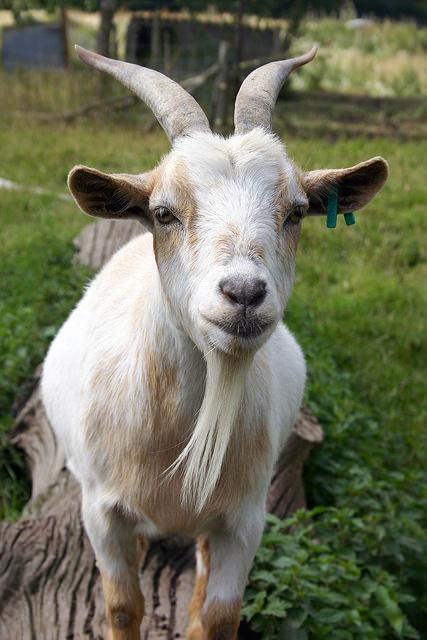 Goat. Makes Milk. We Make Soap.
