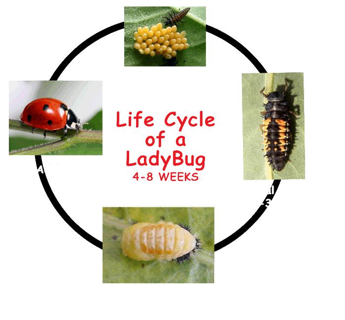 LadybugLifecycle2