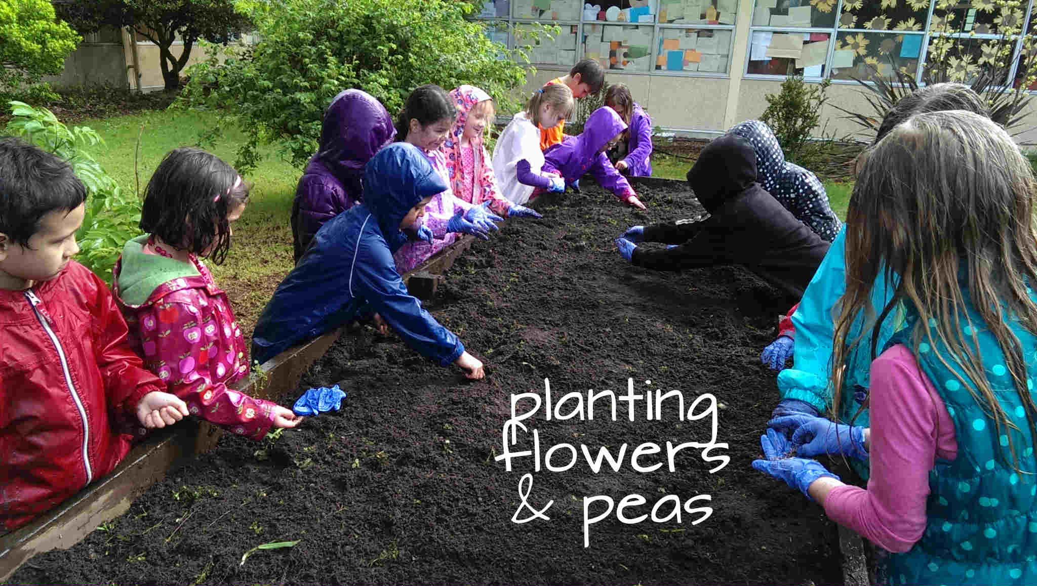 planting flowers and peas