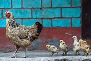 2013-09-04-mc-baby-chicks-following-mother-hen-300x200-ss-79295617.jpg