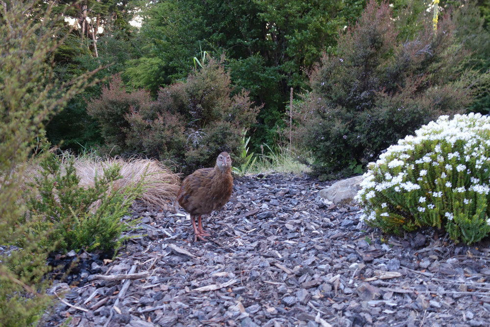 Wally the Weka loves the morning after Pizza Night. He scuttles around eating up a storm.