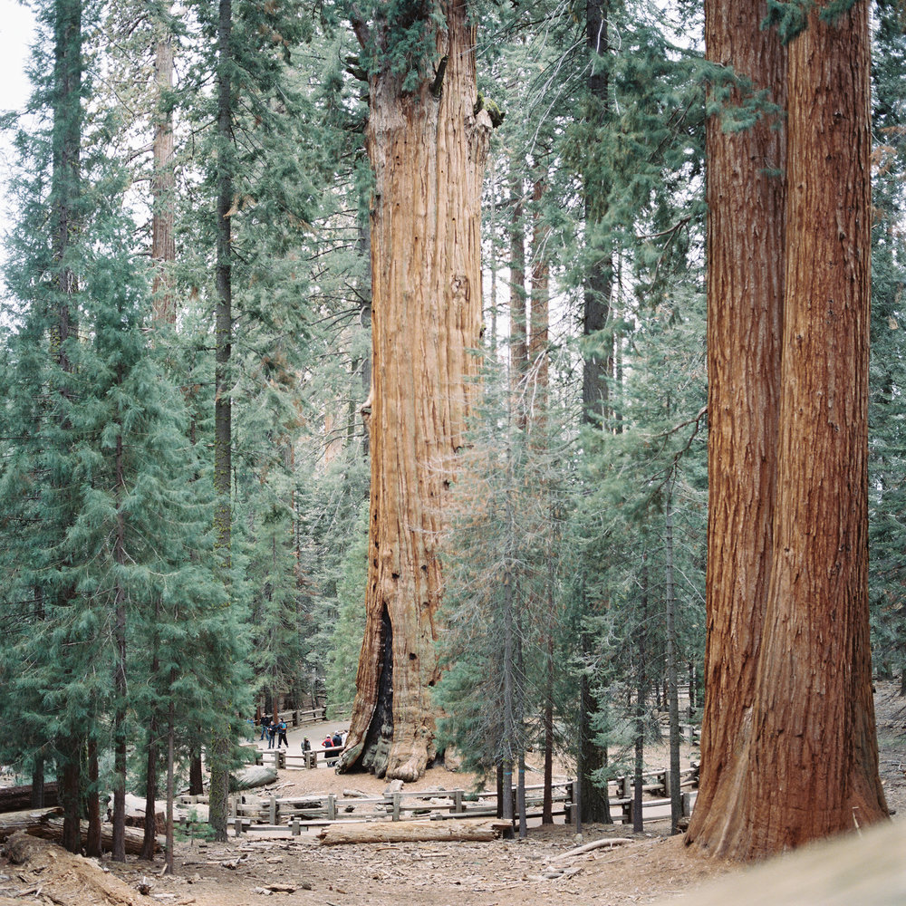 Do you see the crowd at the bottom? (General Sherman Tree)