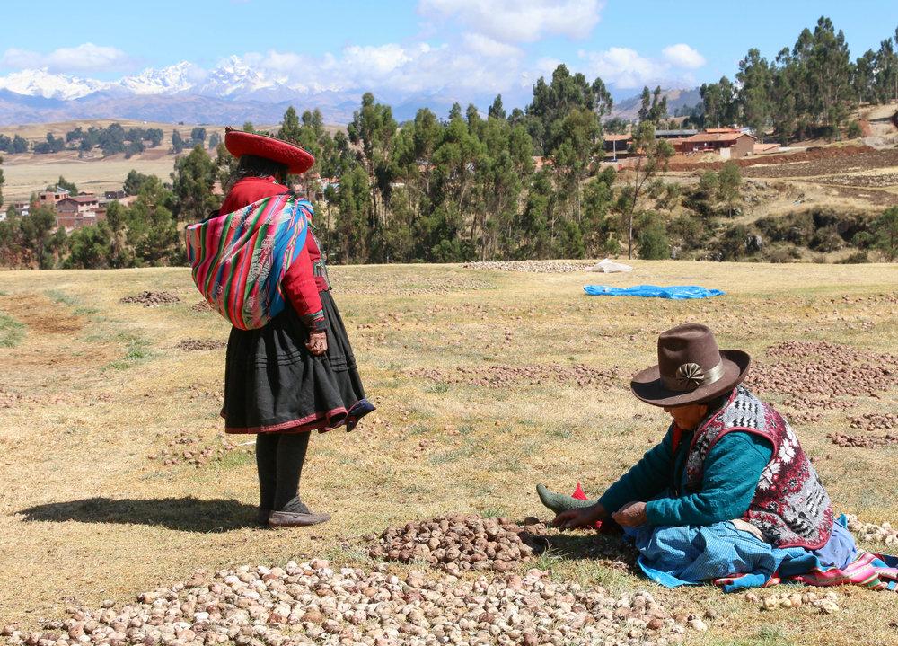 Corrie Borges - Harvesting Chuño- potatoes.jpg
