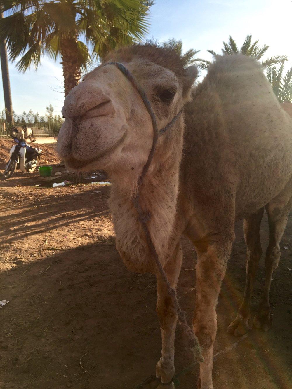 My new camel friend