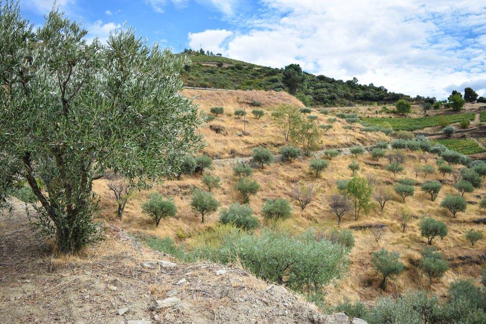 olive_tree_parcels