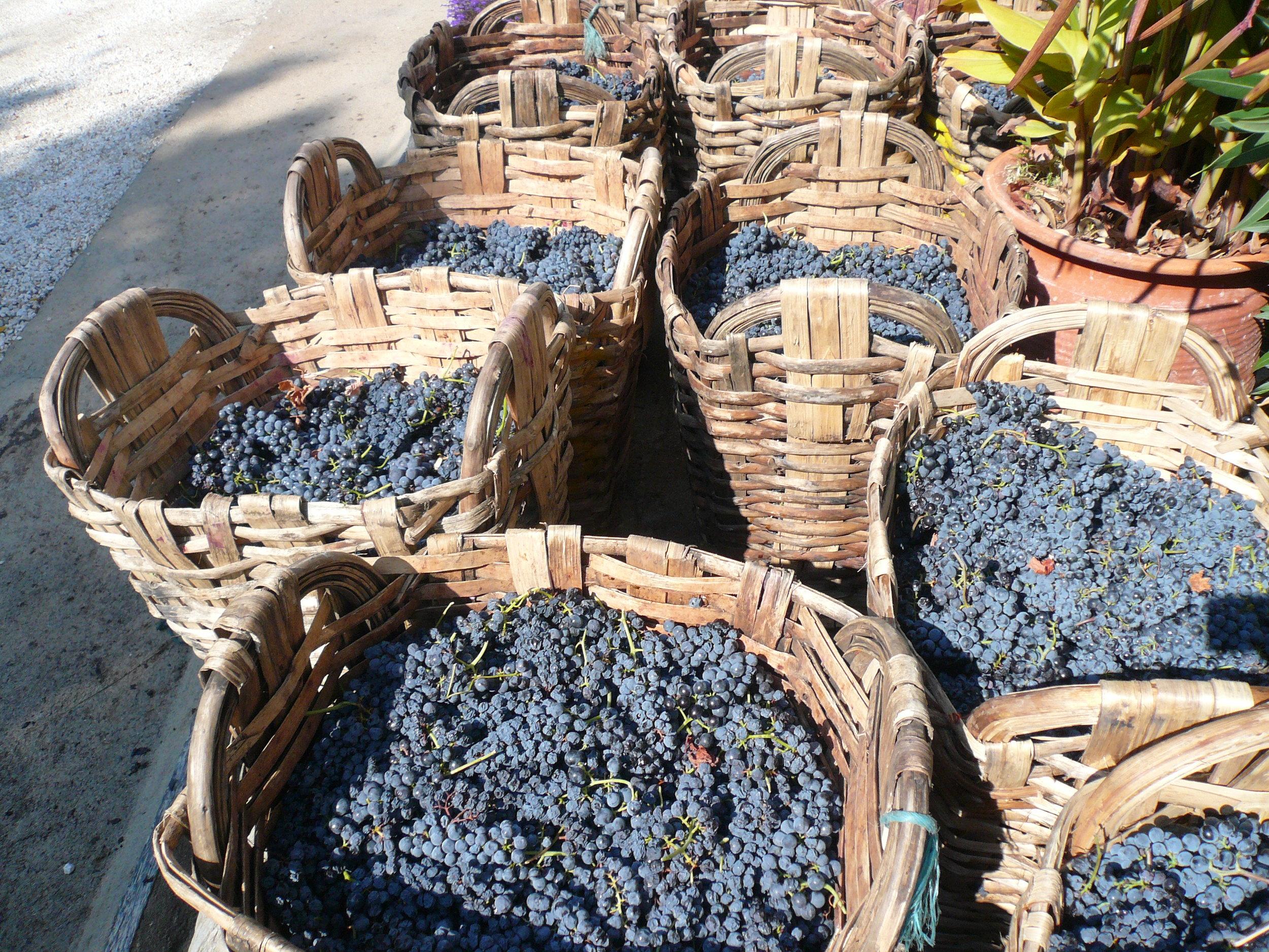 Magnifiques raisins de Quinta do Tedo