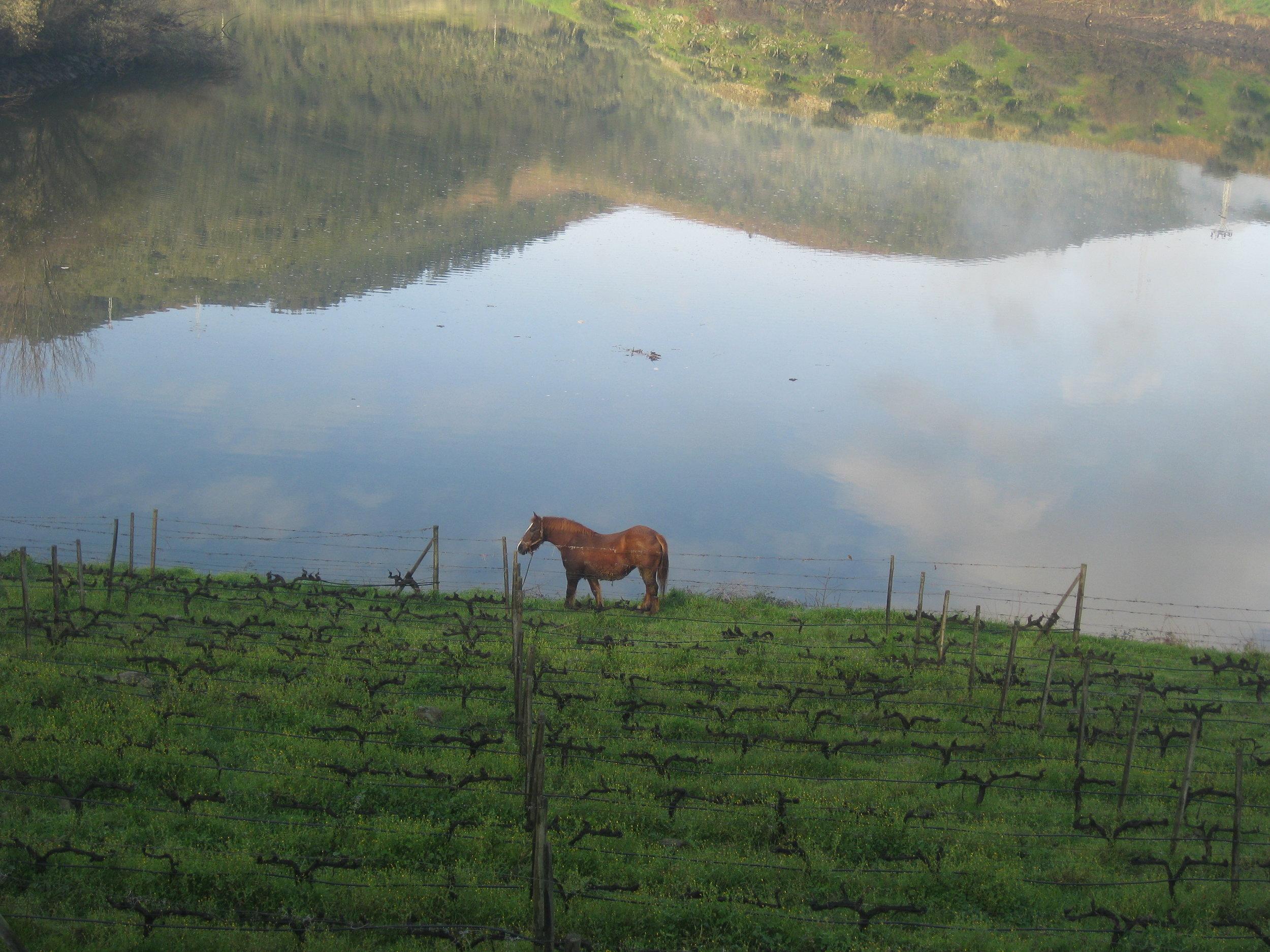 Tedo at work grazing