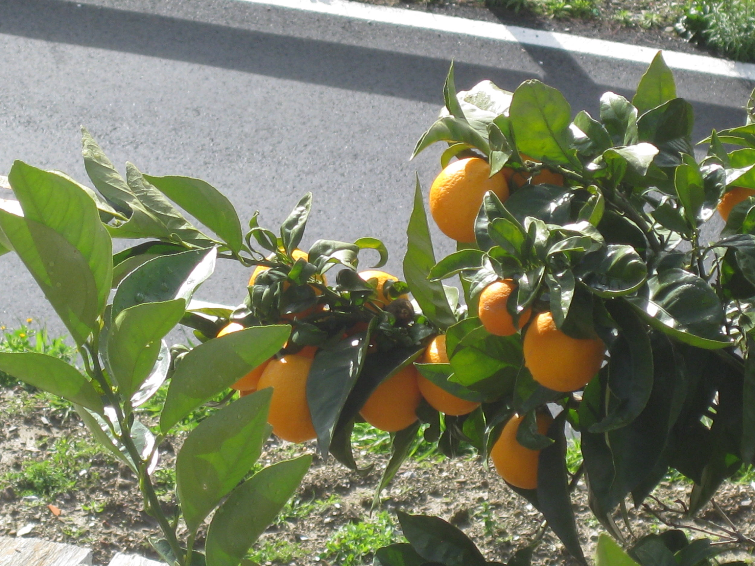 Oranges for mouthwatering marmelade.