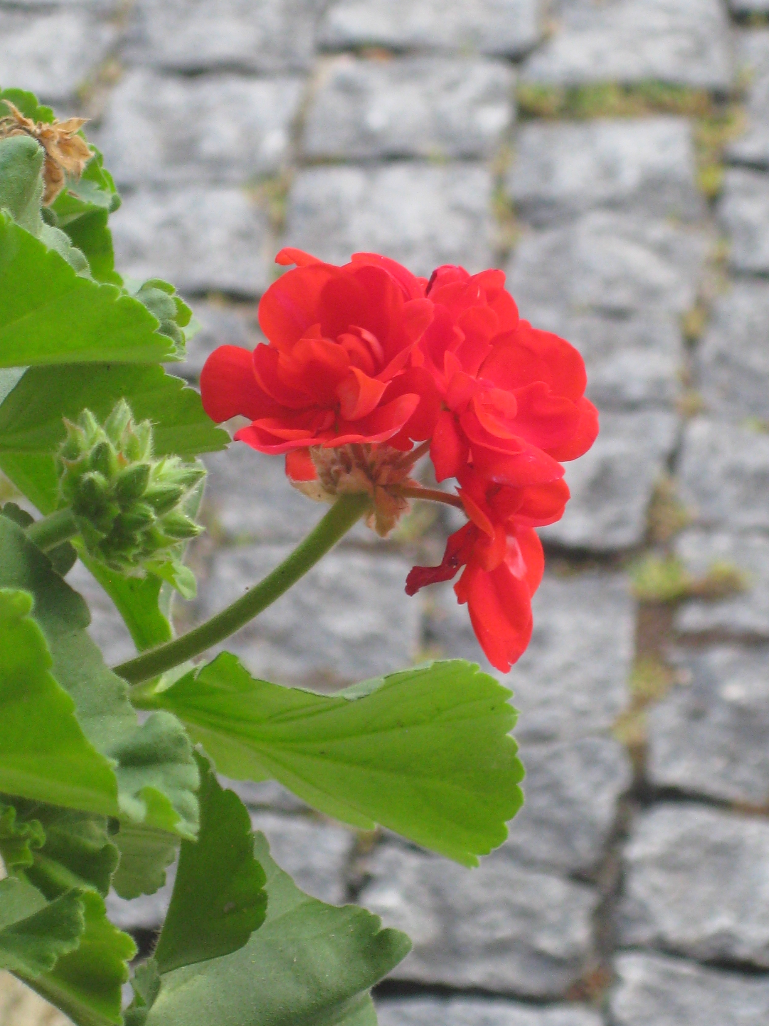 Backbone to our gardens - the red geranium, blooming even in the late winter.