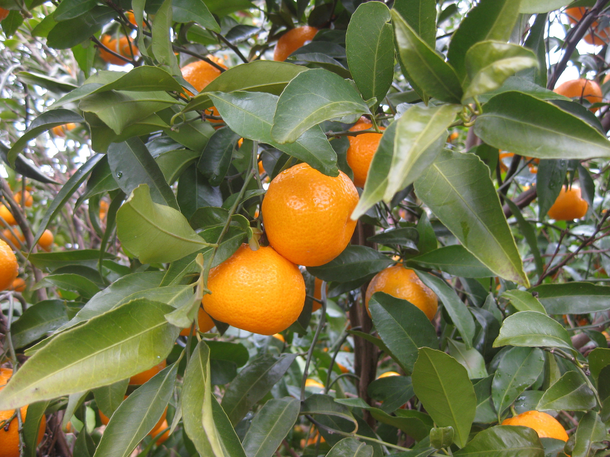 Les tangerines débordant de saveur.