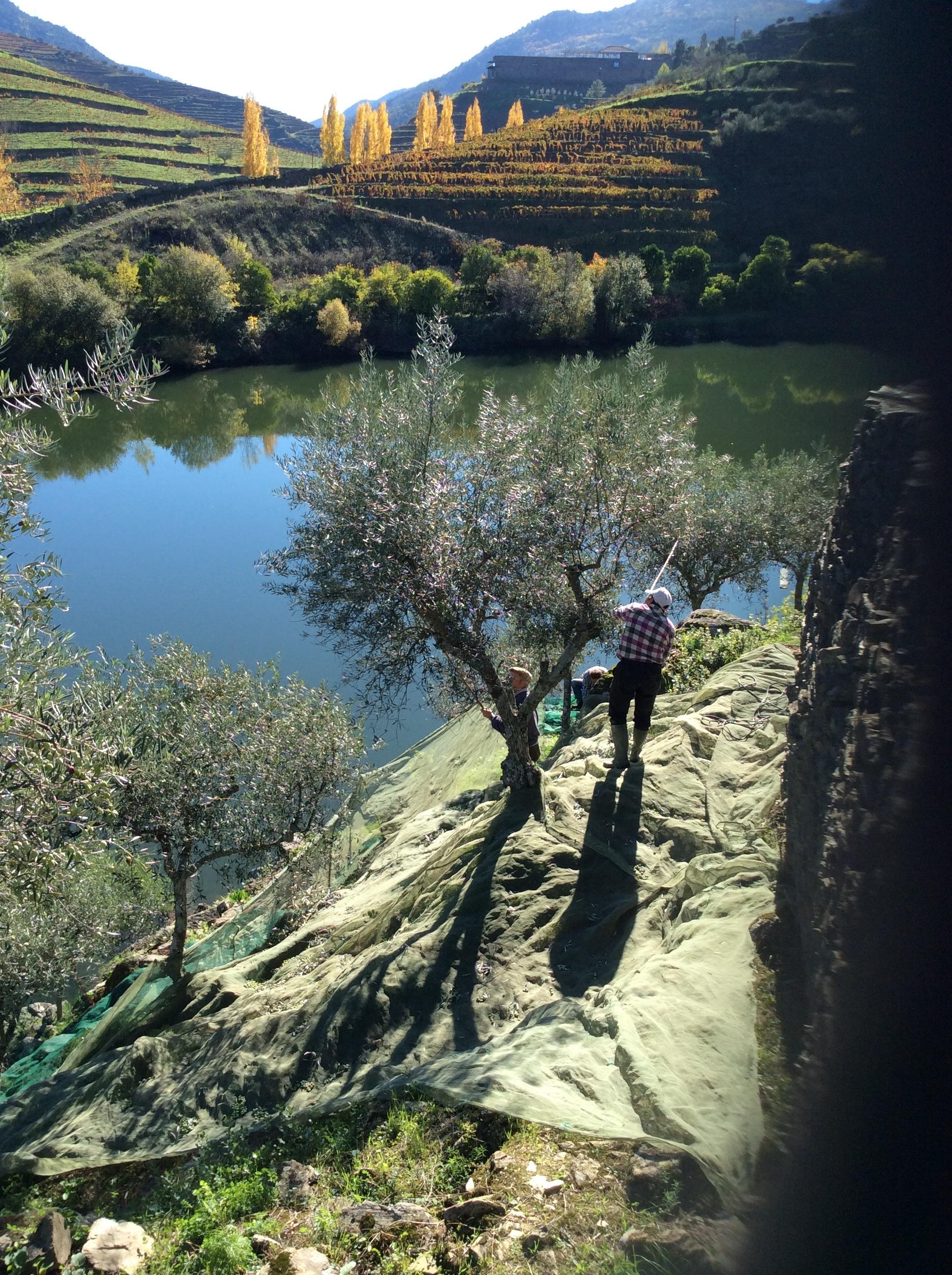 Récolte des olives en cours à Quinta do Tedo