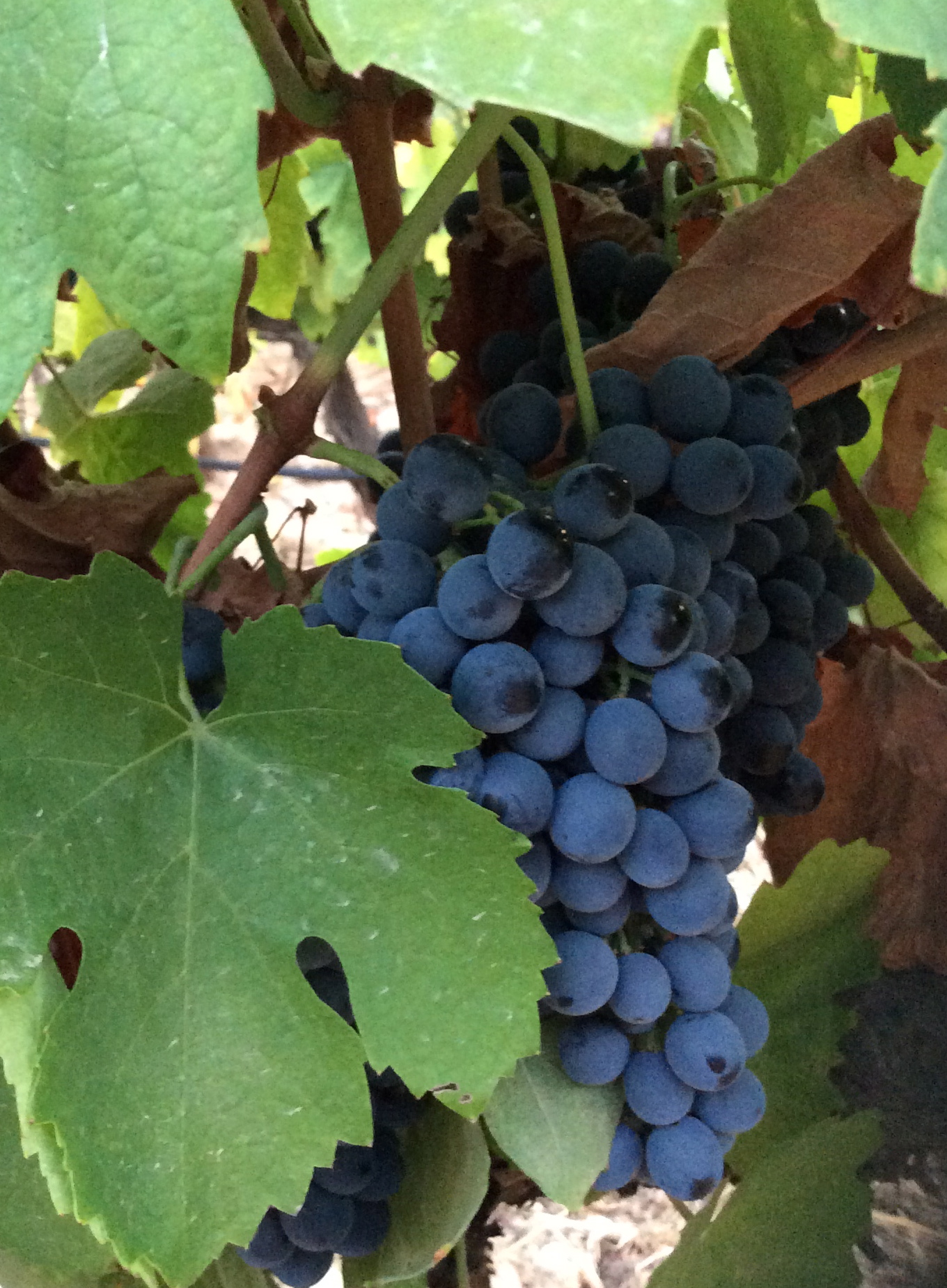 Small, loose clustered Touriga Nacional, conisidered Portugal's finest grape variety - when will the harvest begin?
