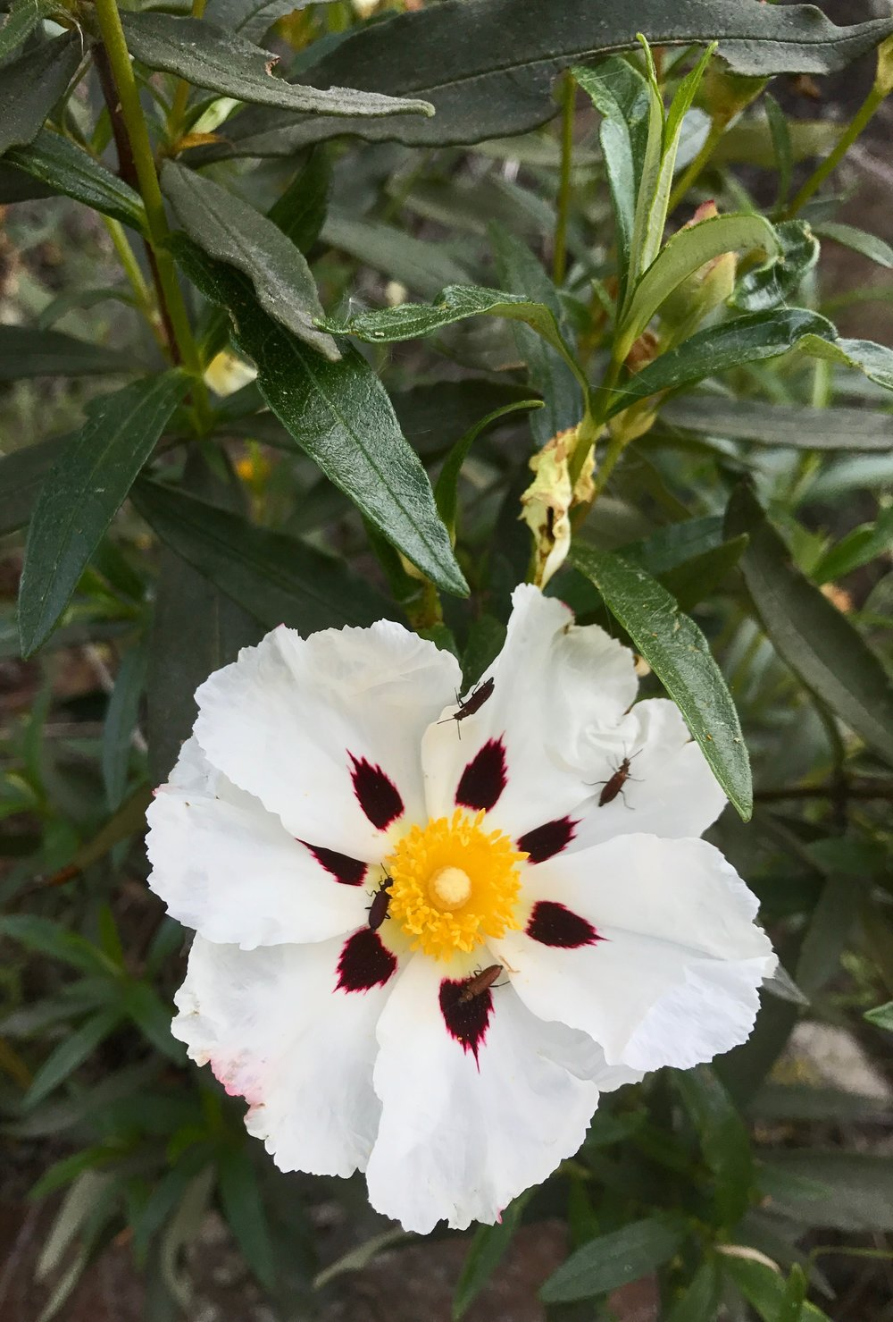 "Gum rockrose ( Cistus ladanifer ) resembles a fried egg and has sticky leaves that produce an aromatic resin, ""labdanum"", which is harvested for perfume production."