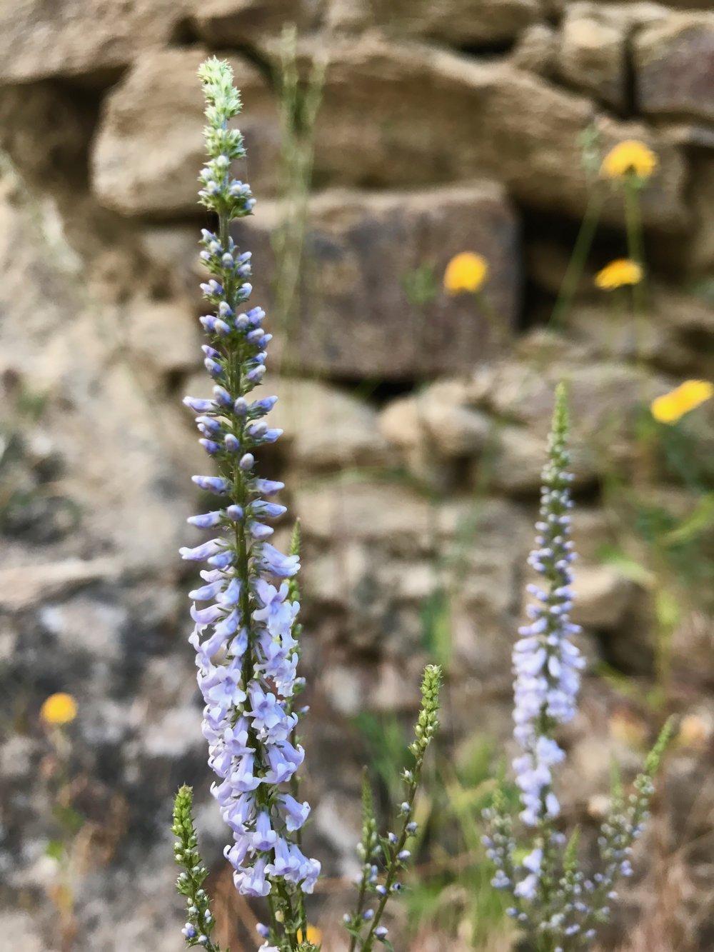 """L'Anarrhine à feuilles de Pâquerette ( a  ntirrhinum bellidifolium), un membre du genre Muflier ou Geules-de-Loup, est l'un des """"organisme modèle"""" utilisé par Darwin et Mendel dans les années 1800 pour étudier l'héritage génétique et les mutations. Elle a été cultivée depuis l'époque romaine pour ses fleurs attrayantes à symétrie bilatérale."""
