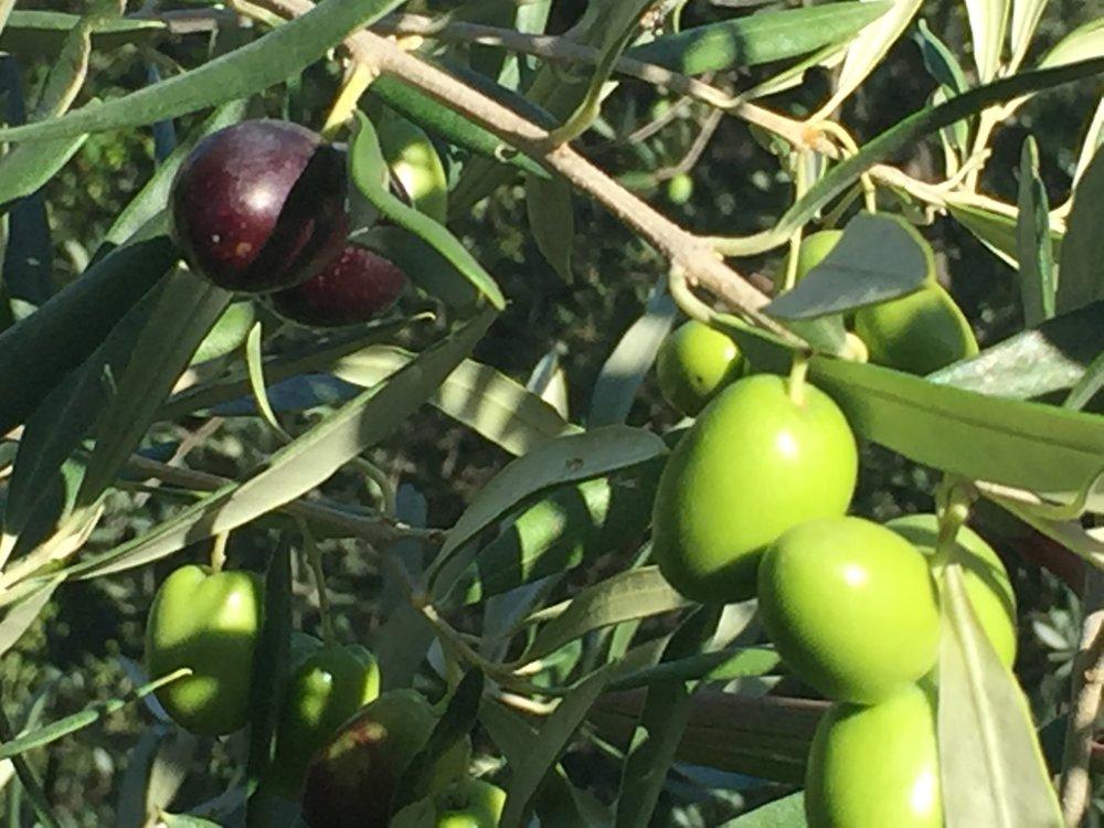 Les olives changent coleur durant la maturation.
