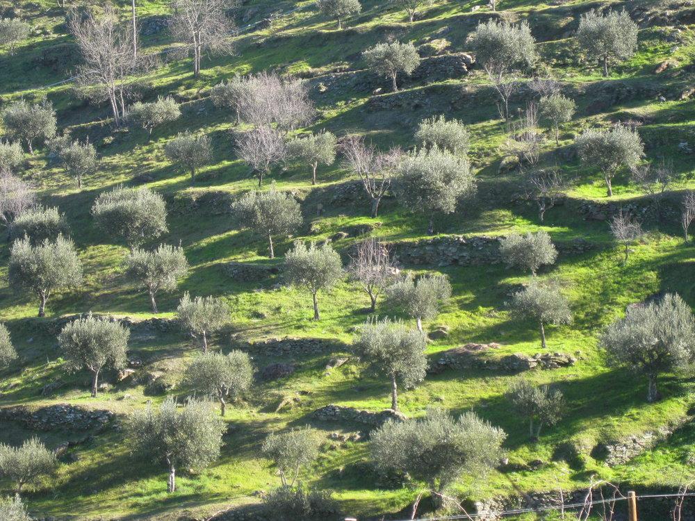 Olive trees a la go-go!