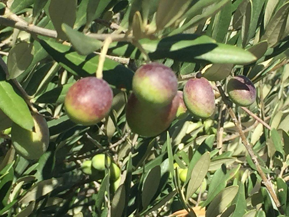 Ripening olives.