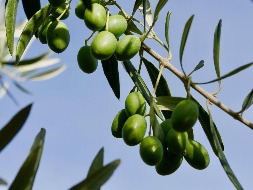 Des beaux contrastes de l'olive verte et du ciel bleu plus tôt dans l'année.