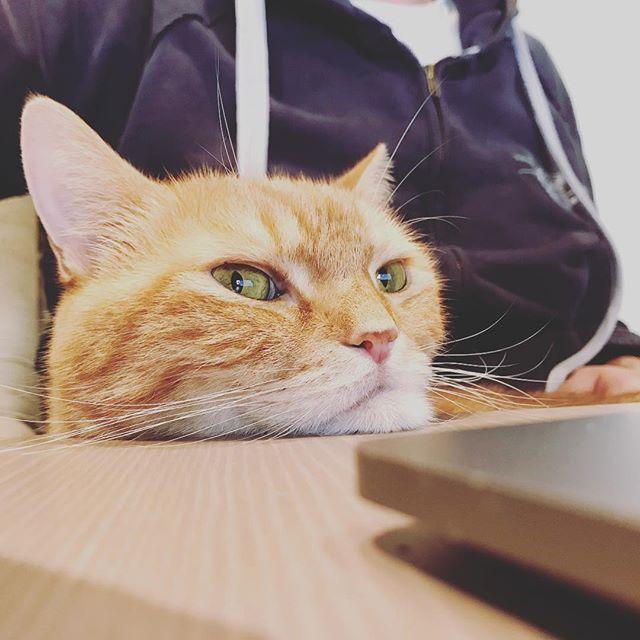 Just keeping an eye on things #helporhinder #gingerboy #lapcat #rescue #arabianmau #pussinboots