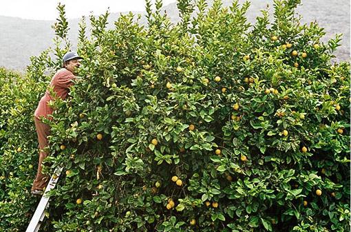 Lemons Grown in the USA -