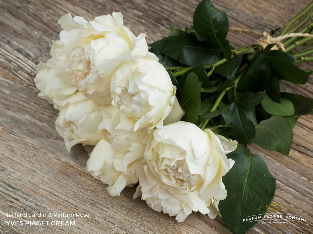 001 Rose Garden Yves Piaget Cream.jpg