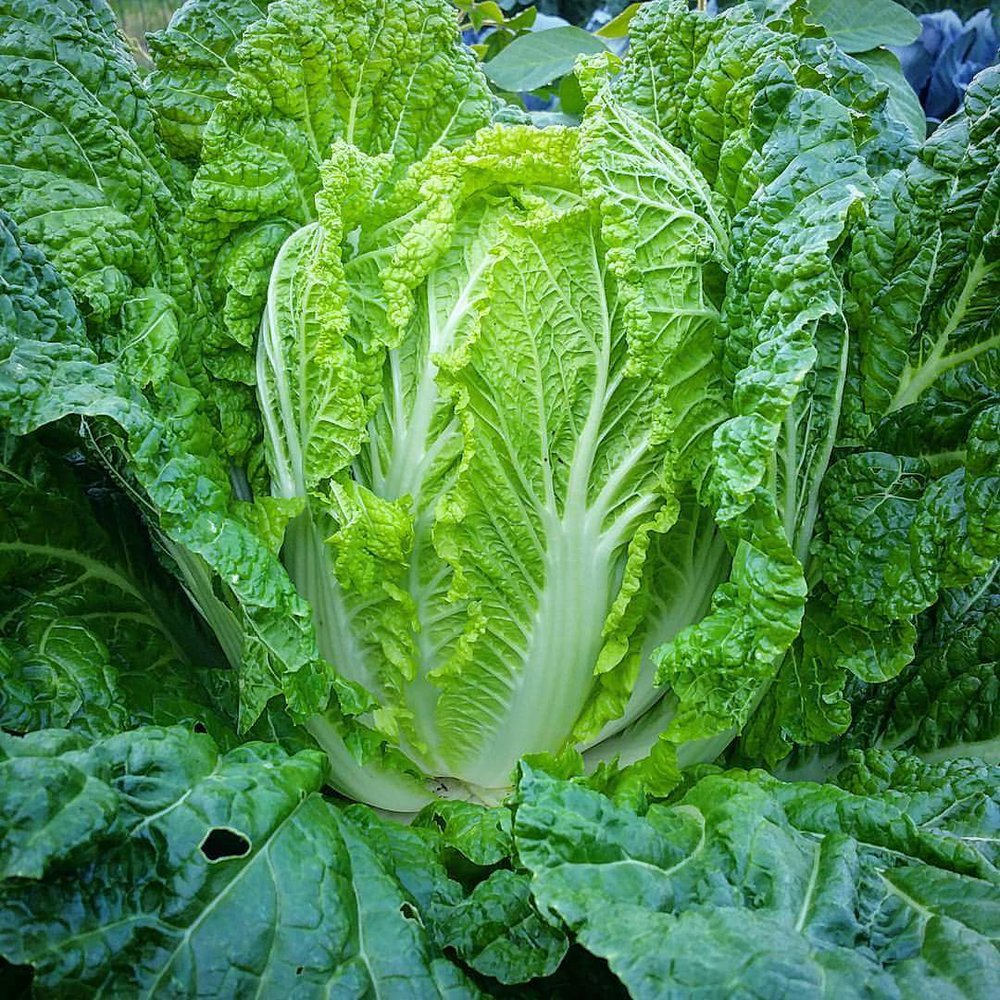 Here is a pic of one of our stunning heads of napa cabbage that we grew from seed this year. This is such a beautiful plant! After all the waiting for this to grow, it truly deserves to be fermented and preserved for months to come.