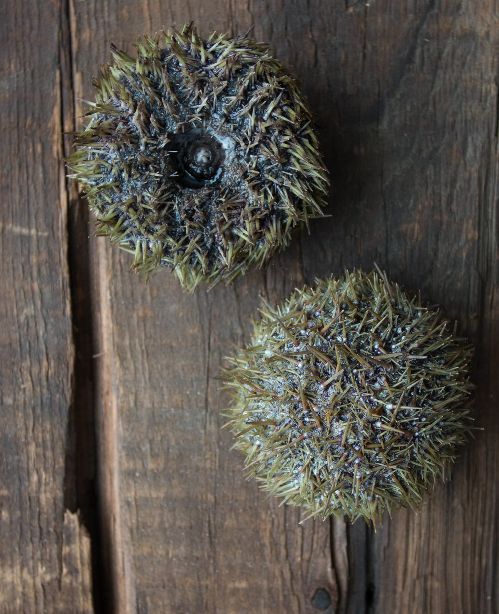 Massachusetts Sea Urchin_.jpg
