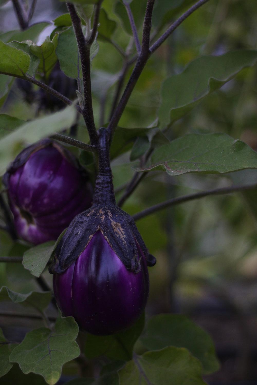 eggplants_.jpg