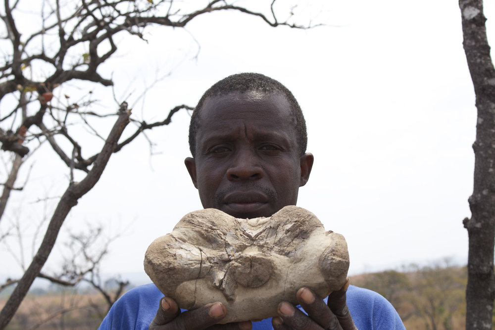 PalNiassa field assistant holding an Endothiodon fossil collected in Niassa (2014)