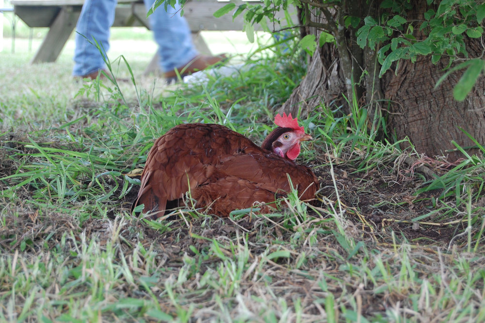 Jolie Vue Farms – Pasture raised chickens are both delicious and nutritious.