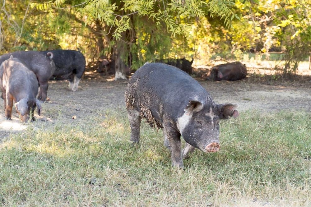 Jolie Vue Farms – Pigs