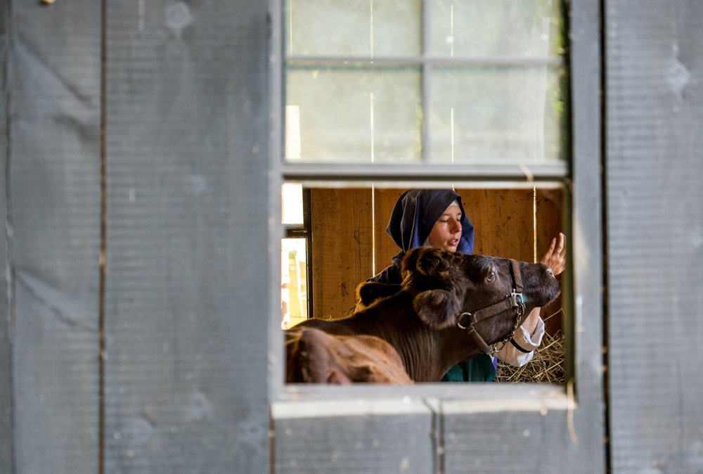 """Sister Philomela Maria, of Newark, Ohio, putting the cow, Dawn, away in her pen for the night while singing her a pray at Children of Mary in Newark, Ohio, on September 24, 2016. """"For some reason she always want to try to eat my watch,"""" she said."""