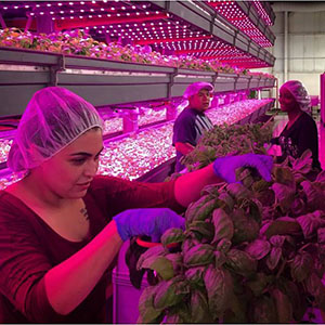 Harvesters Alejandra Martinez (front), Steve Rodriguez, and Marquita Twidell cut basil grown in an aquaponic system at FarmedHere, a vertical farming operation based in Bedford Park, Illinois. Image courtesy of FarmedHere.