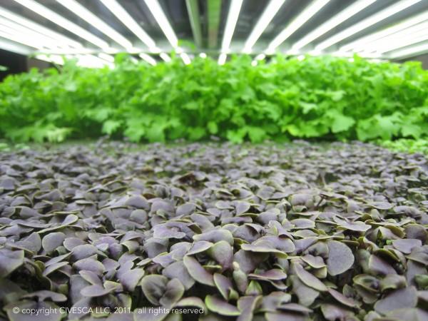 Purple basil and mizuna growing in Civesca.