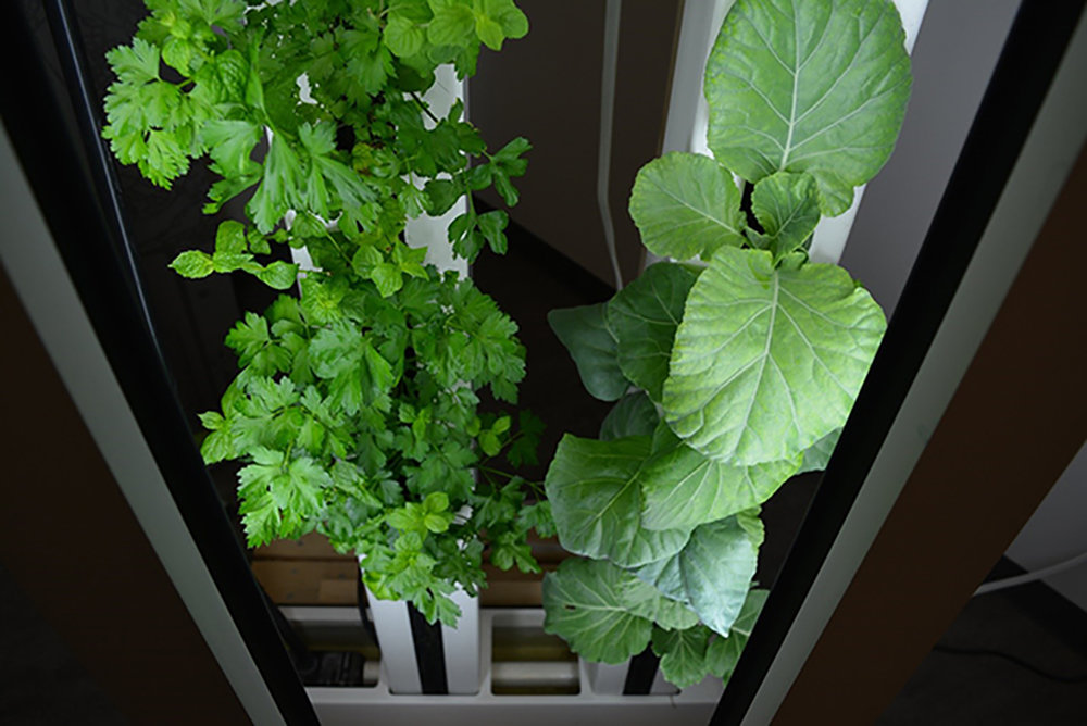 Student startup, Just Vertical, is growing an indoor farm wall hydroponically at U of T Mississauga – with nutrient solution, instead of soil (photo by Sarah Jane Silva)