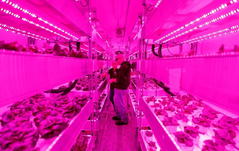 Growers Rebecca Jin (left) and Christopher Pineau tend to plants inside a vertical farm in the back of the Central Market grocery store in Dallas, Thursday, April 6, 2017. Central Market is trying out indoor growing, and the crops will be sold in the store beginning in May. (Jae S. Lee/The Dallas Morning News) Staff Photographer