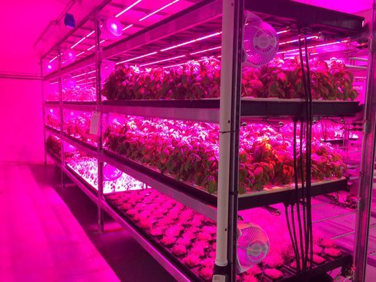 At Ripon's Ernessi Organics, a variety of microgreens and vegetables grow in a basement urban farm.(Photo: Nate Beck/USA TODAY NETWORK-Wisconsin)