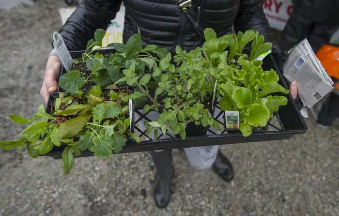 Young plants ready for planting Saturday, April 8, 2017 at the Alma community garden in Vancouver, BC. JASON PAYNE / PNG