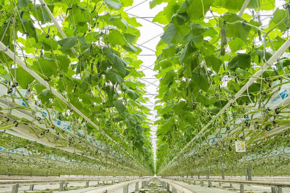 Indoor farms can stack plants vertically and grow more crops than a traditional outdoor farmer. (Photo by Shutterstock)