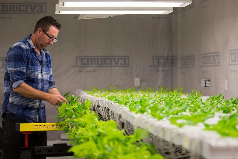 Nick Burton demonstrates how hydroponically grown lettuce is harvested in a grow house at Paris Victory Gardens.  (Smiley N. Pool/Staff Photographer)