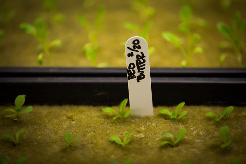 Red Butter lettuce seedlings sprout in a grow house at Paris Victory Gardens.  (Smiley N. Pool/Staff Photographer)
